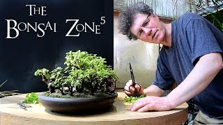 My Bonsai Forest And My Ginseng Ficus, Part 1, April 2018
