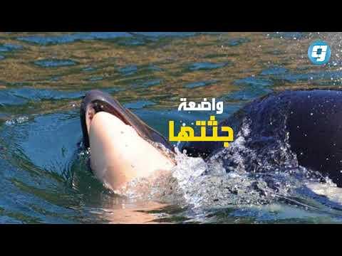 فيديو بوابة الوسط | رحلة حزن لحوت الأوركا
