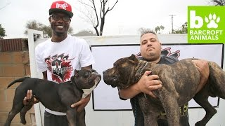 The $75,000 Micro Pit Bull: Teaser