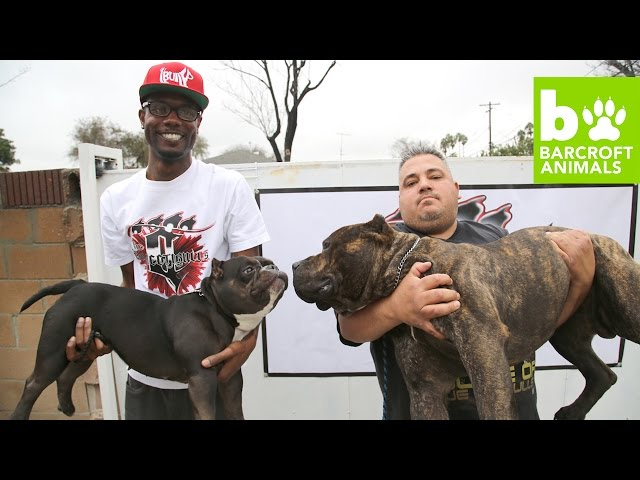 The-75-000-micro-pit-bull