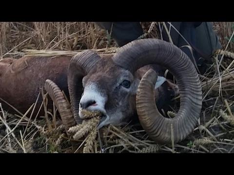 Muflon v obilí