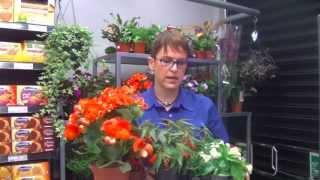 Begonias - Cómo cuidar tus plantas - Consejo SUPER AMARA