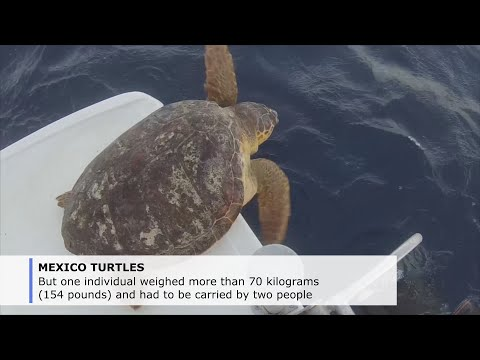 6 Sea turtles returned to ocean from Mexican vet hospital
