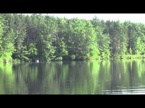 самка гагары приземляется на озеро, штат Нью-Хэмпшир (New Hampshire), США.