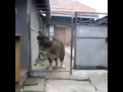 Funny: Big Dog Jumps Over A Tall Fence