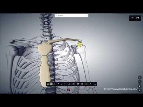 Schmerzen von der Hüfte in die Leber