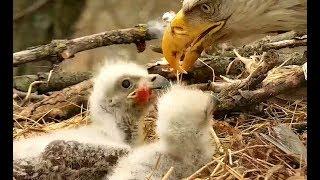 Yum yum! Fish guts again! Decorah Eagles. 10.31 / 18 April 2019