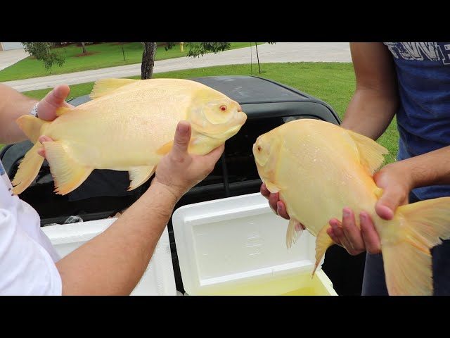 GETTING INTO ALBINO MONSTER FISH POOL POND!!