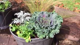 Making A Fall Planter With Kale, Mexican Feather Grass, Pansies And Dusty Miller