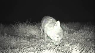 Strange Fox Behaviour