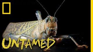 The Ever-Evolving Giant Grasshopper | Untamed