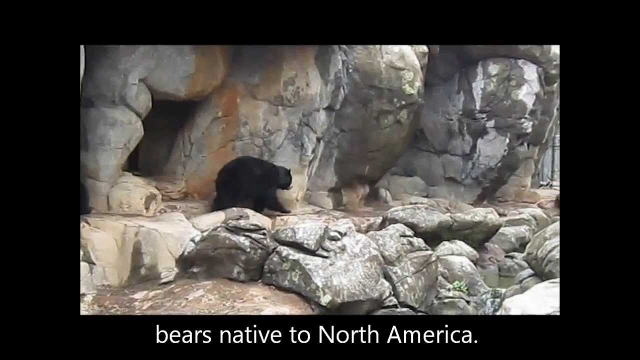 Video for Kids - Animals - Black Bears
