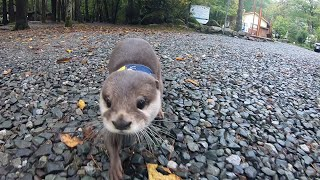 Otter Aty goes! Enjoy the nature of Hakushu Part Ⅰ[Otter life Day 136] カワウソアティがゆく!白州の自然を満喫する旅 Part Ⅰ