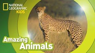 Cheetah | AMAZING ANIMALS