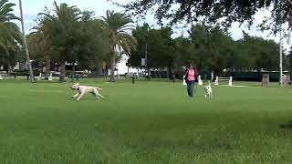 Copy of Copy of Copy of EZ Educator Pager RUNAWAY LABRADOR Harness The Momentum