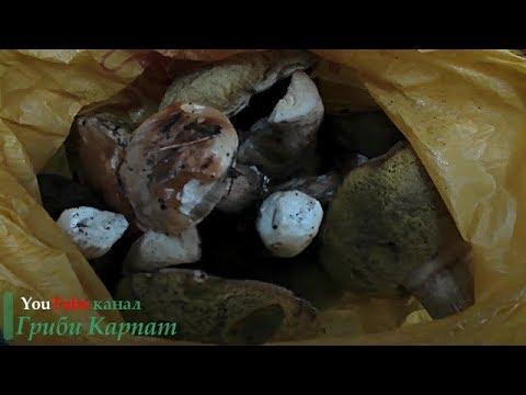 Білі Гриби в Карпатах 26.10.2017Белые Грибы в Карпатах 26.10.2017