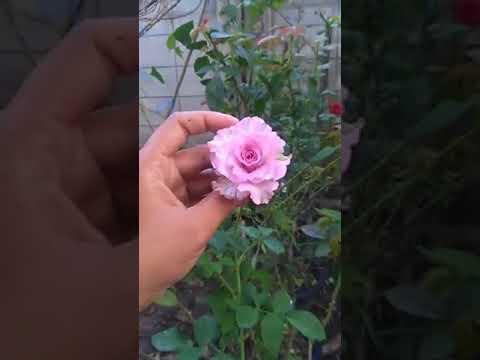 English Perfume กุหลาบพุ่มอังกฤษ By สวนเบญจรงค์สุคนธ์