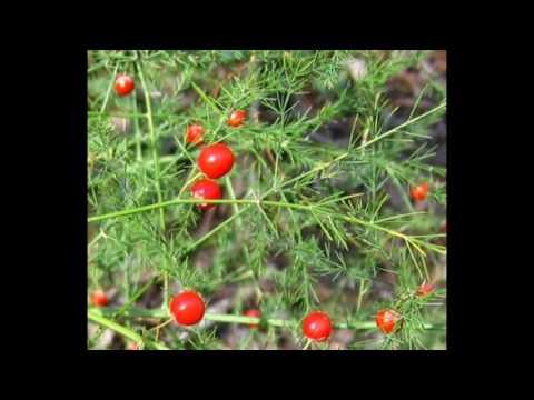 Спаржа лекарственная   Asparagus officinalis