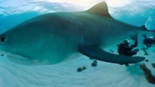 Nadar con tiburones | 360° | Nat Geo
