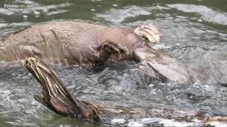 Poginuli bober v Ščavnici