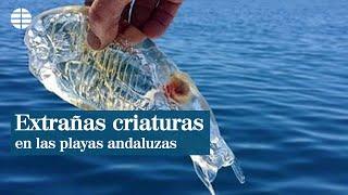 Las extrañas criaturas de las playas andaluzas