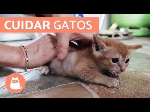 El preparado para la profiláctica de las lombrices a los gatitos