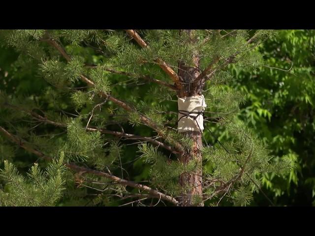 В Ангарске высаживают взрослые деревья
