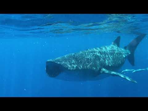 Whale Sharks Off Isla Holbox