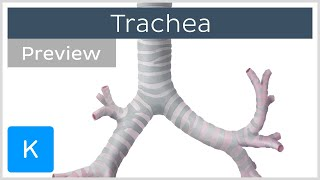 Trachea location and structure (preview) - Human Anatomy   Kenhub