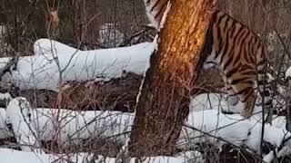 Амурский тигр думает, что его не заметили