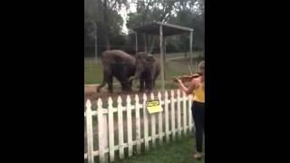 животные, Слоны восхищенно танцуют под звуки скрипки