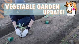 My Vegetable Garden Update