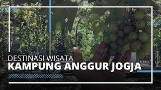 Destinasi Wisata Kampung Anggur Jogja, Cocok Dikunjungi saat Liburan Akhir Pekan dan Pas Musim Panen