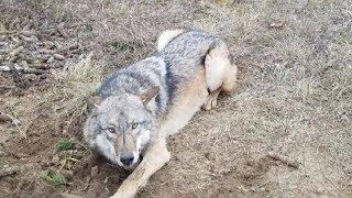 Спасение диких животных из браконьерских ловушек.