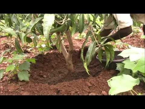 Planta ng linta sa hardin