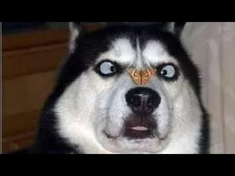 World's Funniest HUSKY COMPILATION