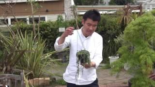多肉植物花芽の上がったグリーンネックレスの紹介・育て方