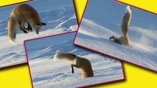 Зачем лисы бегут, а потом резко прыгают головой в снег
