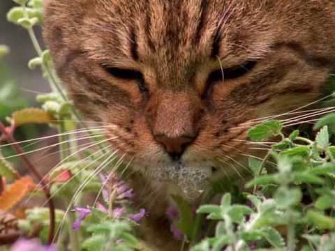 "Puppies and Flowers : ""Everybody must get stoned"" or ""How catnip gets cats high…"""