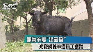 寵物羊變出氣筒 光寶飼養羊遭員工狠踹