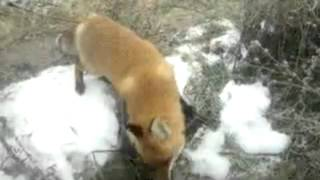 Why would the fox need a rifle? / Зачем лисе ружье? - Video Youtube