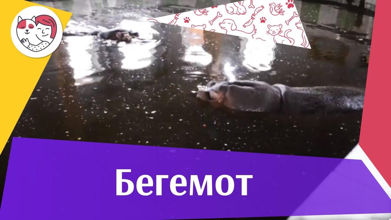 Бегемот Образ жизни на ilikepet