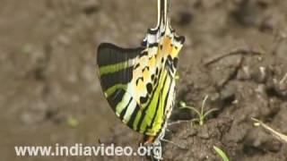 Fivebar Swordtail or Pathysa antiphates