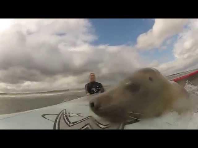 2 Surfer's Let A Friendly Sea Lion Ride Thier Surfboard