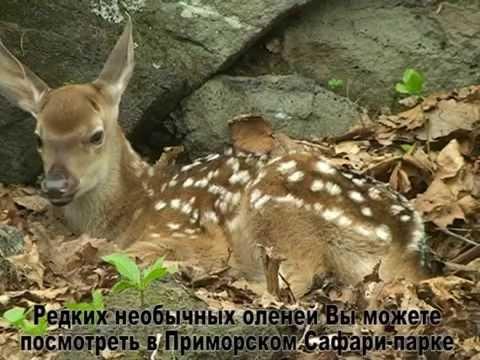 Фильм об оленёнке Ма-хуа-лу (конь-цветок-олень), родившемся в Приморском Сафари-парке - Приморский Сафари Парк
