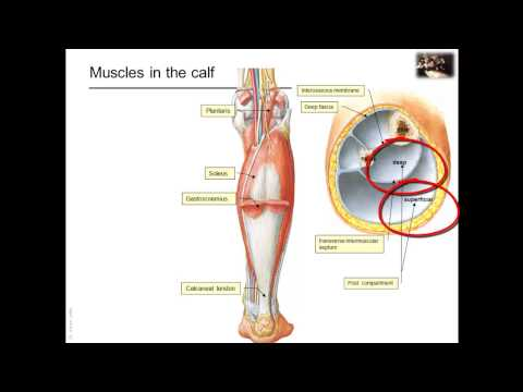 Overview of the lower limb: muscles • Video • MEDtube.net