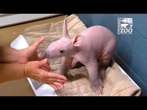 Hairless Baby Aardvark Refuses to Cooperate with Nurses