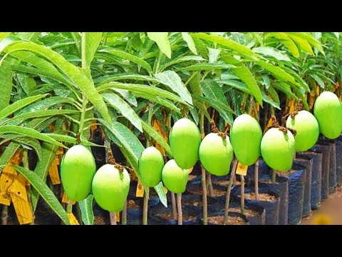 How to double grafting on mango tree!!!