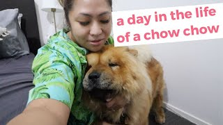 A Day In The Life Of A Chow Chow | Vlogmas Day 17 #chowchow #vlogmas