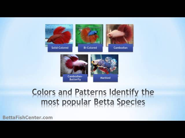 Betta Fish History and Recommendations - Your Magical Betta